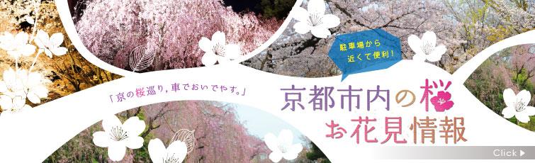 京都市内の桜お花見情報